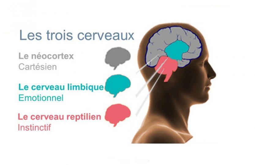 Le cerveau triunique